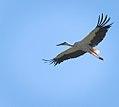 White stork (28617485863).jpg