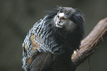 Wied's Marmoset at Blank Park Zoo.gk.jpg