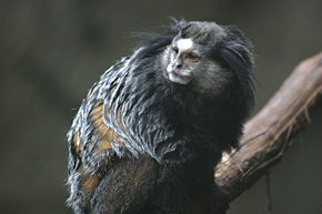 Description de l'image Wied's Marmoset at Blank Park Zoo.gk.jpg.