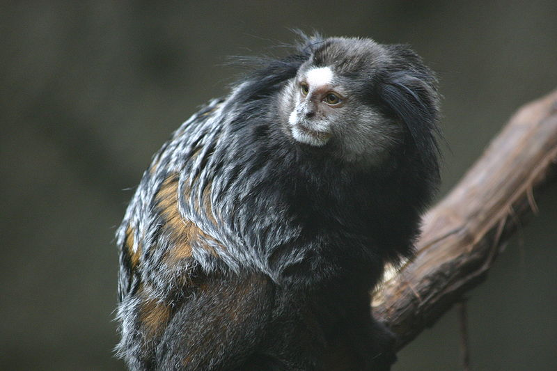 File:Wied's Marmoset at Blank Park Zoo.gk.jpg