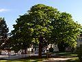 Wiener Naturdenkmal 800 - Baumhasel (Hietzing) n.jpg