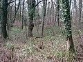 Wild Daffodils - geograph.org.uk - 720505.jpg