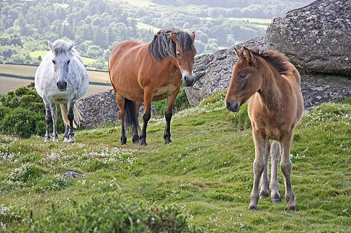 Wild horses - Flickr - exfordy