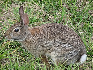Cottontail rabbit - Eastern cottontail rabbit (Sylvilagus floridanus) eats grass, ferns, and leaves