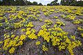 Wildflowers in Placitas (4540661055).jpg