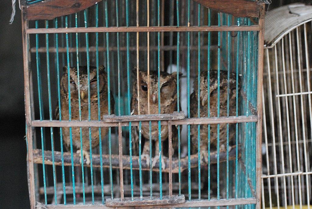 File:Wildlife trade three owletsWikimedia Commons