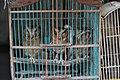 Wildlife trade - three owlets.jpg
