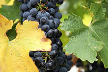 Wine grapes02.jpg