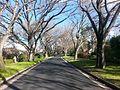 Winter scene of ulmus americana (Canberra, 2016).jpg