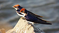 Wire-Tailed Swallow (Hirundo smithii) Photograph By Shantanu Kuveskar.jpg
