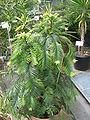 Wollemia nobilis01.jpg