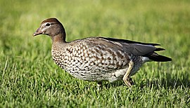 Wood-Duck-female.jpg