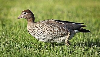 Australian wood duck - Image: Wood Duck female