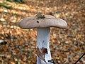 Wood Blewit (Lepista nuda) - geograph.org.uk - 1585627.jpg