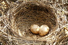 Two eggs in a cup-shaped nest