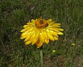 Xerochrysum bracteatum head1 - Flickr - Macleay Grass Man.jpg