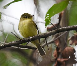 Yellow-bellied Flycatcher (31015566568).jpg