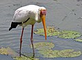 Yellow-billed Stork (Mycteria ibis) (12011924706).jpg