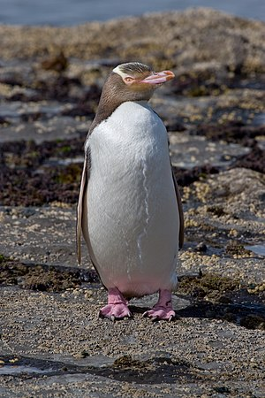 Yellow-eyed penguin - Image: Yellow eyed Penguin MC
