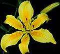 Yellow Lily (2535351335).jpg