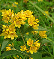 Yellow Loosestrife Lysimachia vulgaris Washington 1050px.jpg
