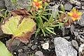 Yellow Mountain Saxifrage - Saxifraga aizoides (29369854697).jpg