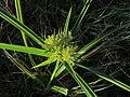 Yellow Nutsedge Cyperus esculentus (43998391481).jpg