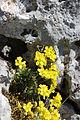Yellow Whitlow-Grass - Draba aizoides (13866434665).jpg