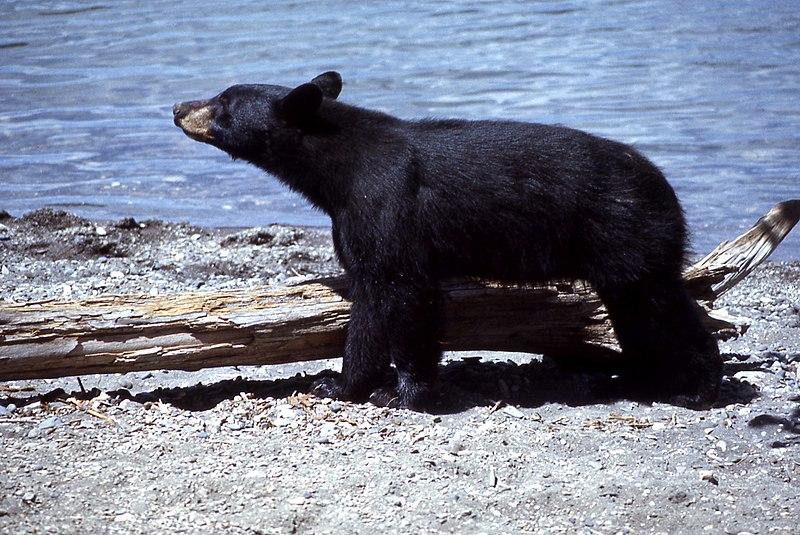 Yellowstone-black-bear-07895.jpg