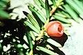 Yew needles and berries.jpg
