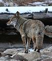 Yosemite Coyote (8194282231).jpg