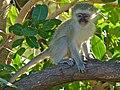 Young Vervet Monkey (Chlorocebus pygerythrus) (6888501922).jpg