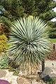 Yucca rostrata - Brooklyn Botanic Garden - Brooklyn, NY - DSC07961.JPG