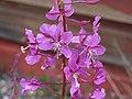 Yukon Fireweed (349202724).jpg