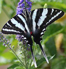 Sưu tập Bộ cánh vẩy 2 - Page 56 220px-Zebra_Swallowtail_Megan_McCarty10