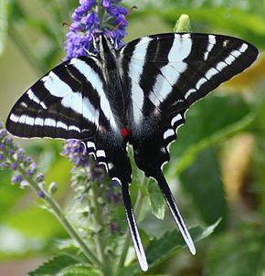 Description de l'image Zebra Swallowtail Megan McCarty10.jpg.