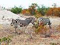 Zebra group with little zebra.jpg
