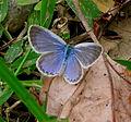 Zizina otis - lesser grass blue.jpg