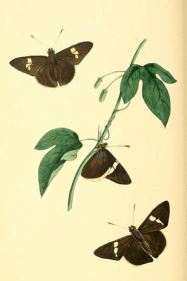 Zoological Illustrations Volume I Plate 40.jpg