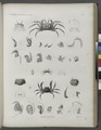 Zoologie. Crustacés. Crabes-cavaliers (NYPL b14212718-1268550).tiff