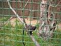 Zoopark Zajezd CZ Saguinus labiatus 032.jpg