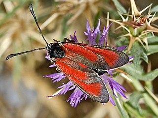<i>Zygaena erythrus</i> Species of moth
