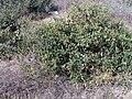 Zygophyllum fabago Habitus ParquedelasDunas TorreLaMata.jpg