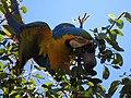"""arara-canindé"" - Ara ararauna - se alimentando de frutos e sementes de jatobá - Hymenaea courbaril 07.jpg"