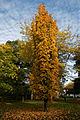 'Acer saccharum' Temple's Upright Beale Arboretum West Lodge Park Hadley Wood Enfield London.jpg