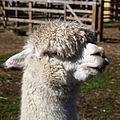 'Vicugna pacos' Alpaca at Capel Manor College Gardens Enfield London England 2.jpg