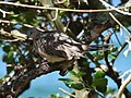 (1)Spotted turtle dove-1.jpg