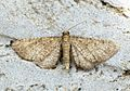 (1814) Lead-coloured Pug (Eupithecia plumbeolata) - Flickr - Bennyboymothman.jpg