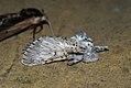 (1995) Puss Moth (Cerura vinula) (3639881771).jpg