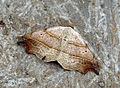 (2473) Beautiful Hook-tip (Laspeyria flexula) (7501341760).jpg